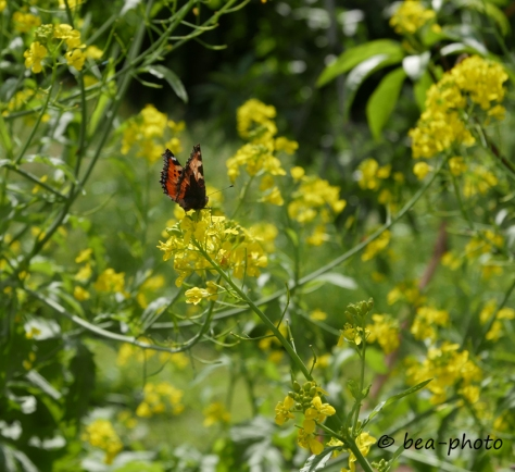 Schmetterling auf Blüte vom Asia-Salat.