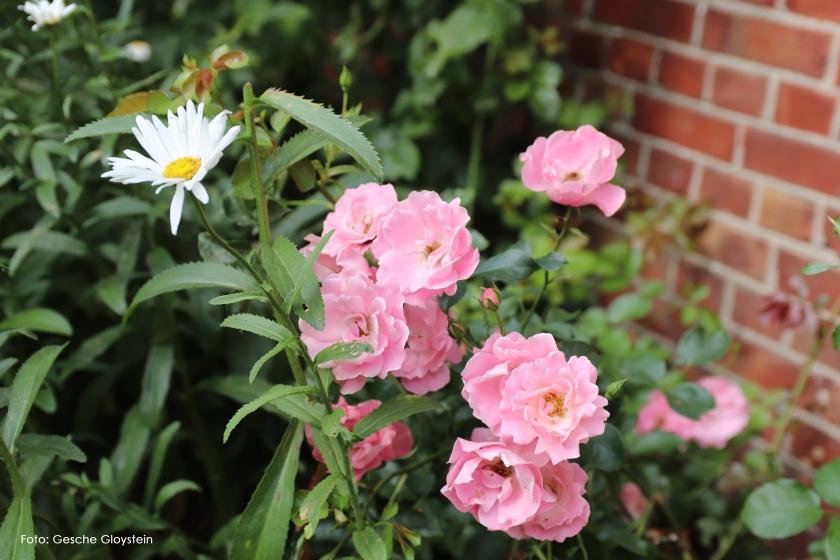 Rosenblätter, rosa.