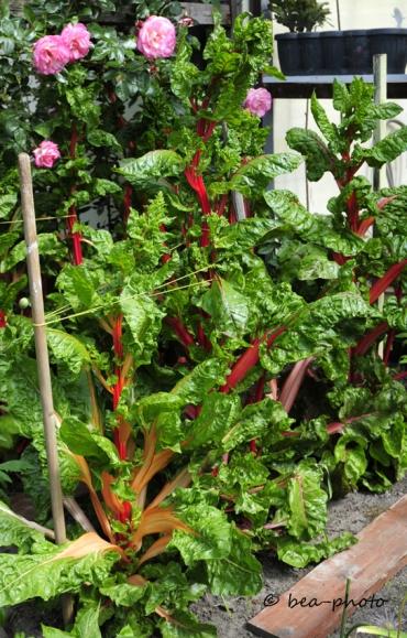 Mangold zur Saatgutgewinnung bei Renate Düring