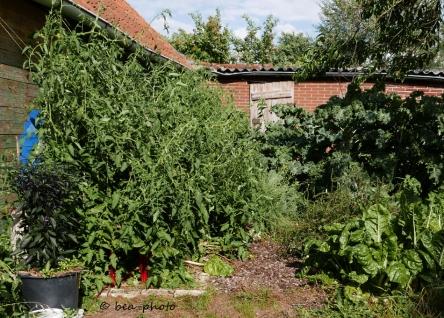 Tomate Rote Zora im Gemüsegarten.