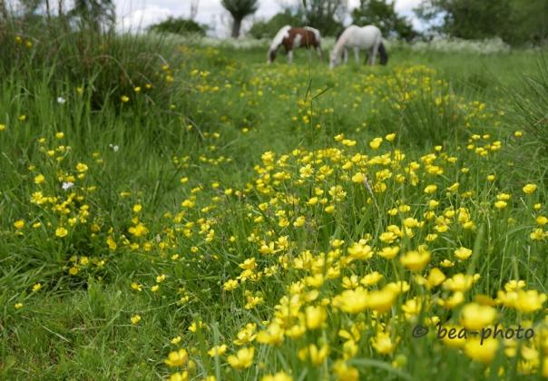 Gelber Hahnenfuß auf Pferdeweide
