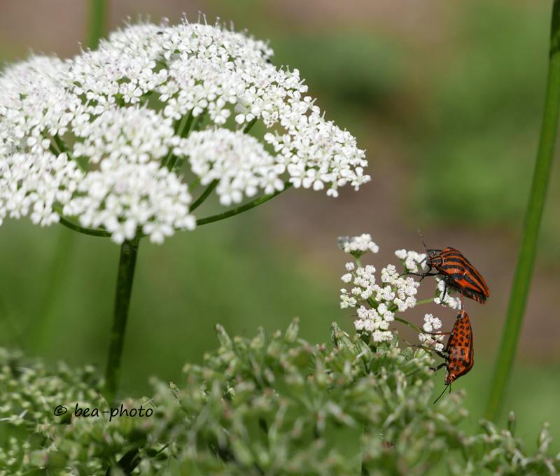 Wiesenkerbel mit Käfern.