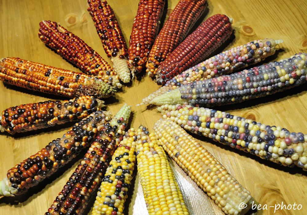 Hopi-Mais in seiner ganzen Vielfalt.