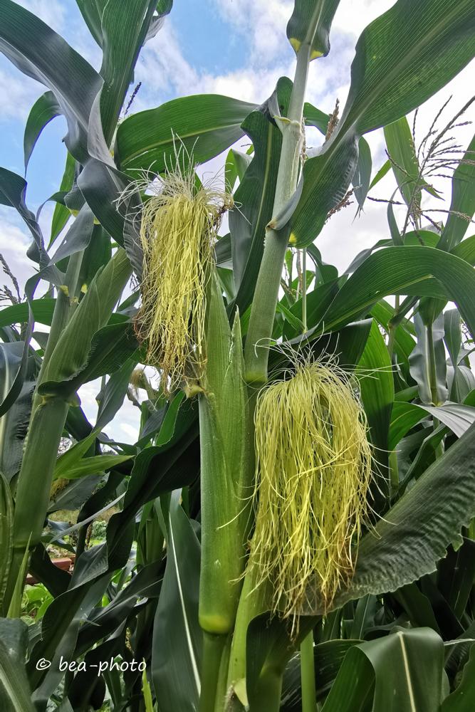 Mais in der Blütezeit.